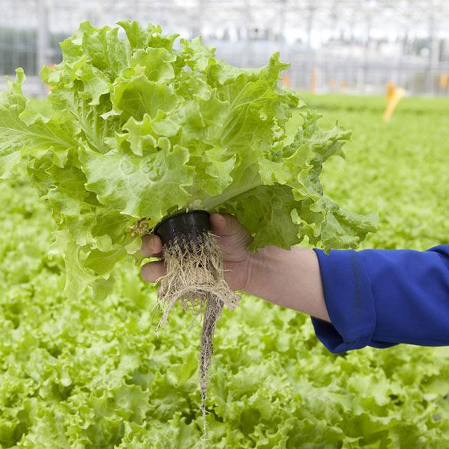 Урожай листового салата убирают вместе с корнем