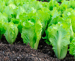 Выращивание салата из семян в теплице