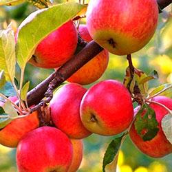 Укоренение ветки яблоки