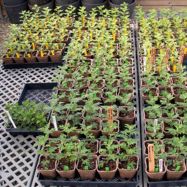 За время роста хризантемы необходимо три раза подкормить
